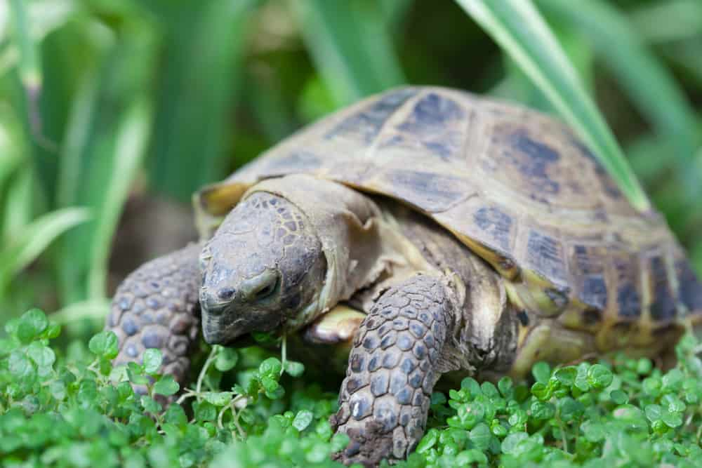 come accudire una tartaruga di terra evicus
