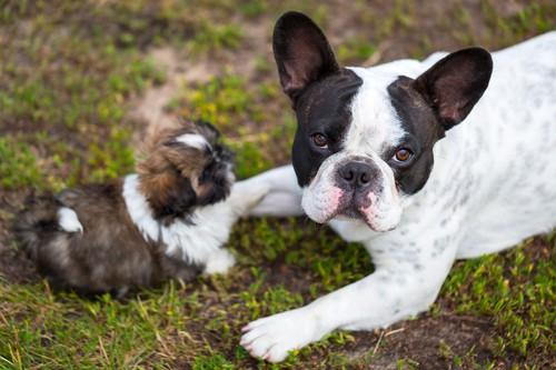 Le migliori razze di cani da appartamento - eVicus