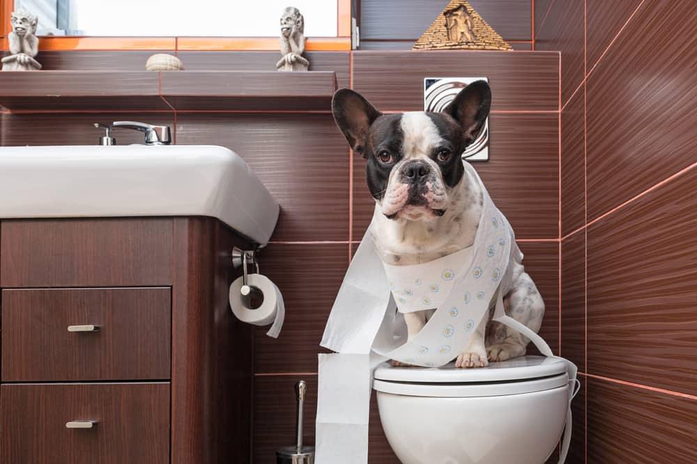 pipi cane in casa