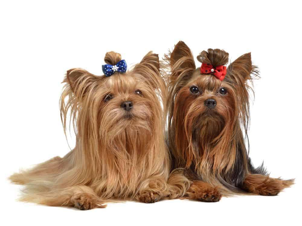 Le migliori razze di cani da appartamento evicus