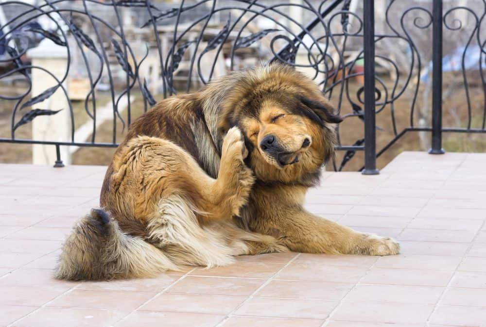 Rimedi naturali per eliminare le pulci dal cane