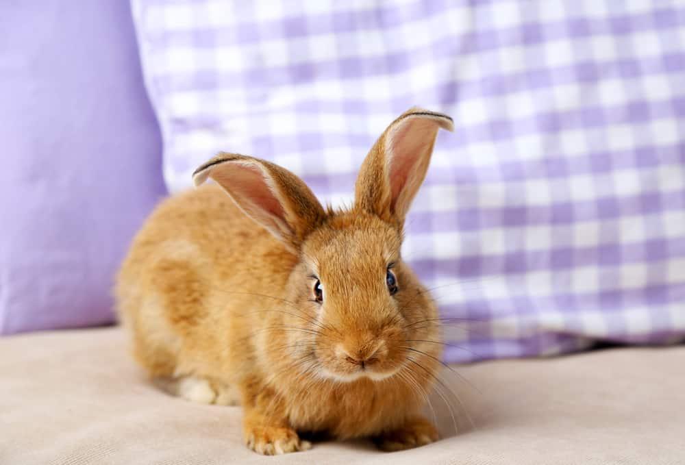 come addestrare un coniglio nano