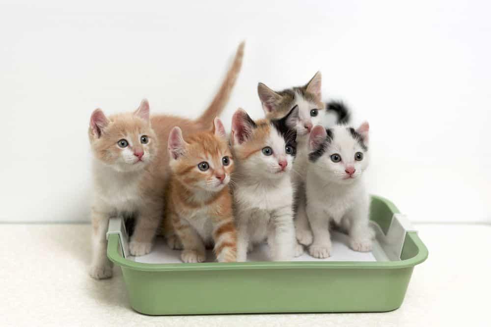 Trucchi e consigli per come abituare il gatto alla lettiera