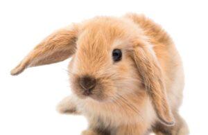 Cura e alimentazione del coniglio nano ariete