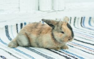 come lavare un coniglio nano