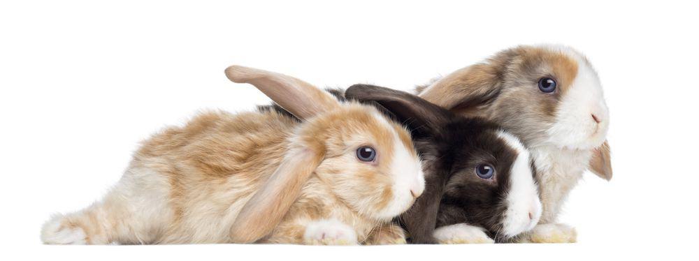 come distinguere sesso dei conigli