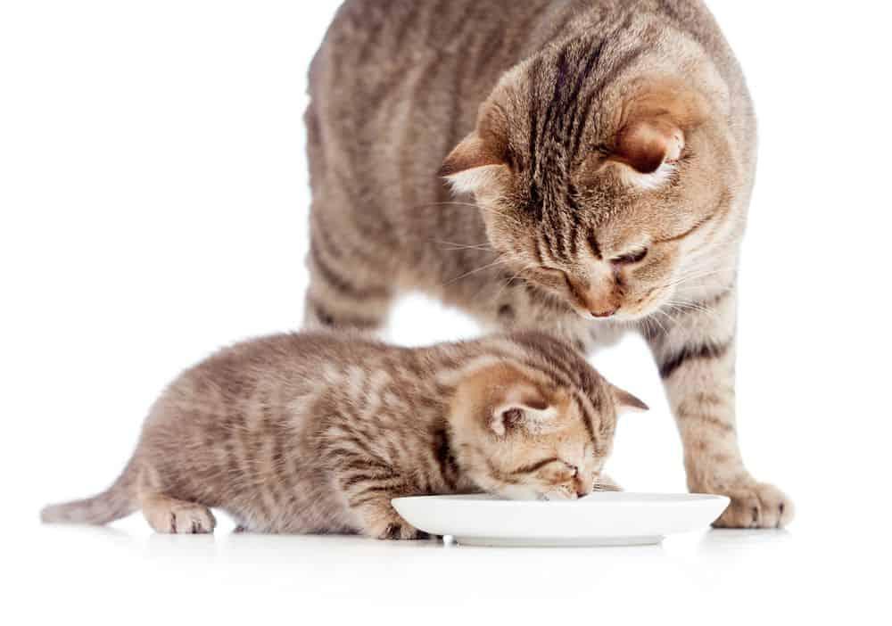 Quanto deve mangiare un gatto adulto? Dosi e Consigli