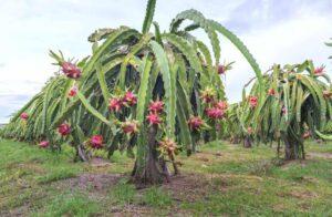 Pitahaya o Pitaya, è la pianta dove cresce il frutto del dragone